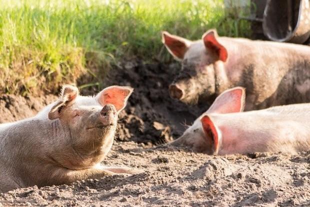 Българските фермери успяват да произведат едва 37 % от свинското