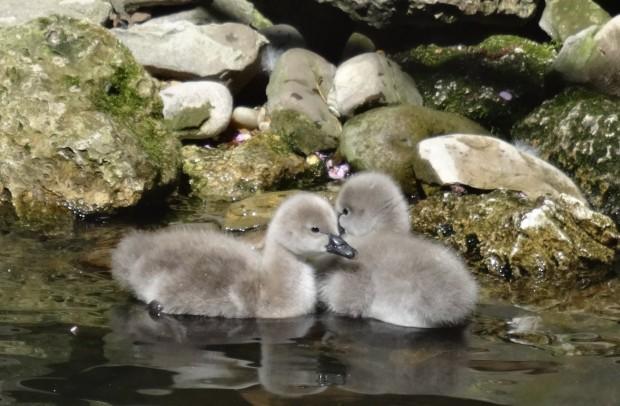 Двойката черни лебеди Ромео и Жулиета вече имат поколение, съобщи