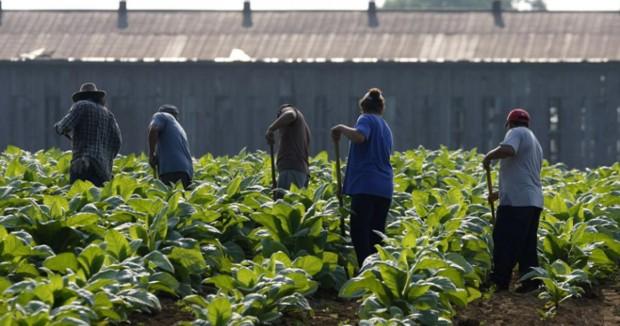 Български берачи на домати работят в условия на експлоатация и