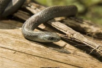 >Видяла е единствено опашката на змията. Впоследствие започнала да се