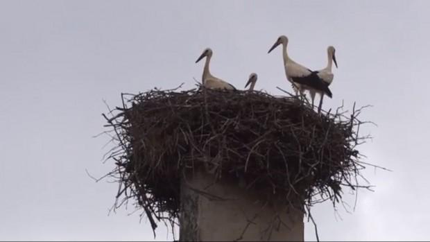 Цели 5 щъркелчета са се излюпили в едно гнездо във