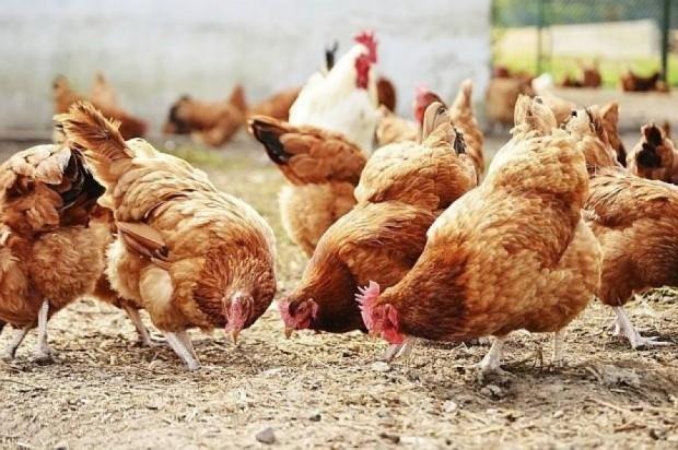 Ново, първично огнище на птичи грип е пламнало в добричкото