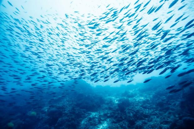 Всички промишлени риби в черноморския басейн се водят за свръх