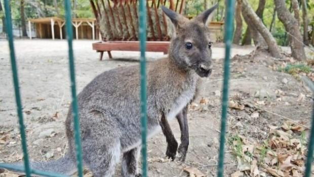 Кенгуру избяга от зоокъта в Сандански. За bTV кметът Кирил