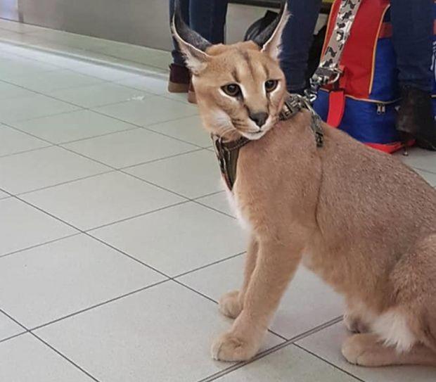 Фейсбук виж галерията Каракал придружи стопанката си до летище
