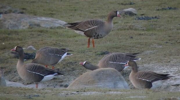 виж галерията Рекордна за Бургаските езера численост на малка белочела гъска