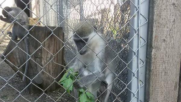 Снимка: Маймуните в зоопарка в Айтос живеят като царе – имат парно, хранят се със сезонни плодове и зеленчуци