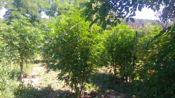 Снимка: Инспектор от БАБХ си направи плантация от марихуана, дойде време да плати за стореното