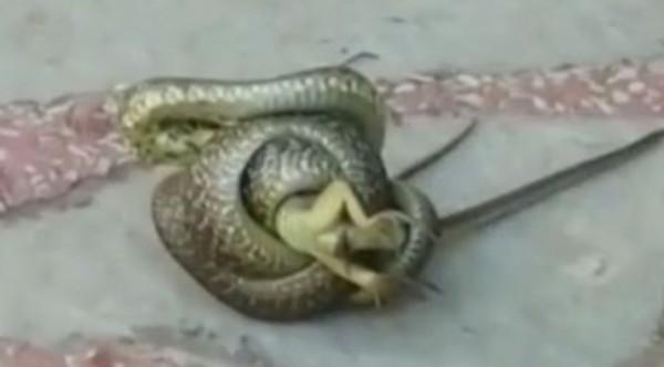 ФейсбукВидео на змия, уловила плячка на Моста на влюбените в