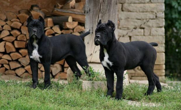 """Две кучета Кане Корсо, ползвани като охрана в къпалнята """"Мария"""
