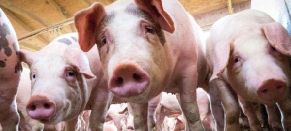 Два нови случая на заболели прасета от африканска чума за