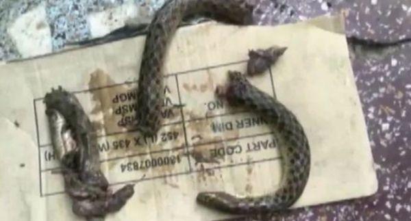 ТуитърИндиец,ухапан от змия,си еотмъстилподобаващо, като на свой ред евпил зъби