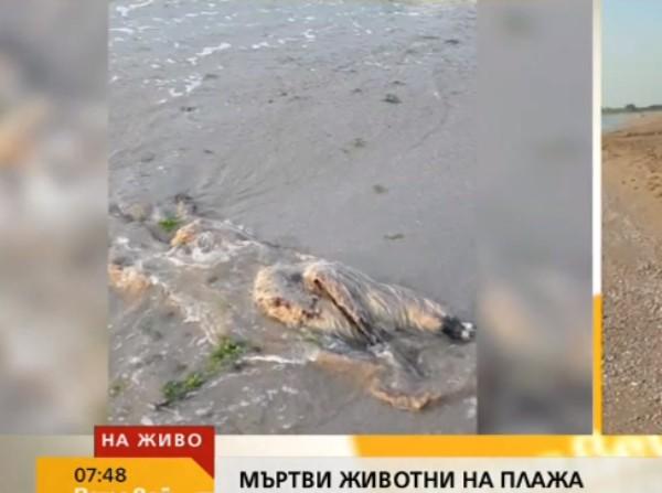 Мъртви кози с румънска маркировка изхвърли морето край Дуранкулак. Сигнал