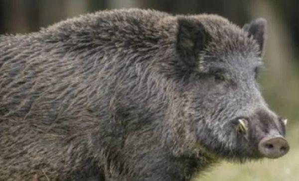 Снимка: Намериха мъртво диво прасе край Девин, тестват го за африканска чума