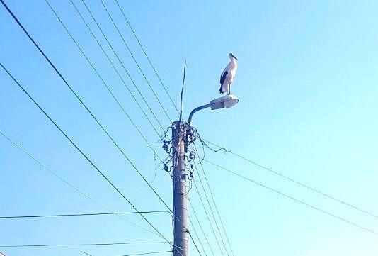 Десетки щъркели умират всеки ден заради електрическите жици край Бургас.