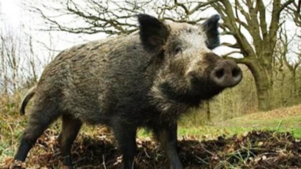 Положителна проба за Африканска чума по свинете е установена при