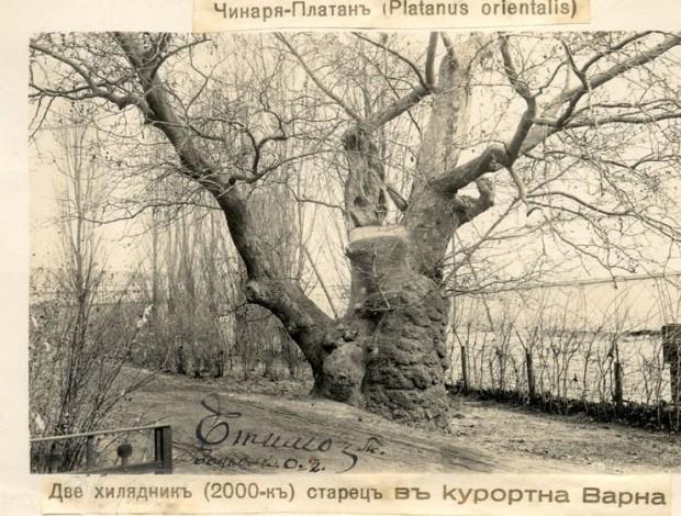 Едно от най-старите дървета по нашите земи се намира във