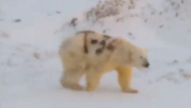 Любителски видеозапис на полярна мечка, разхождаща се из природата с