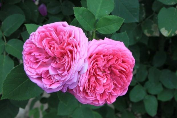 Маслодайната роза, наричана