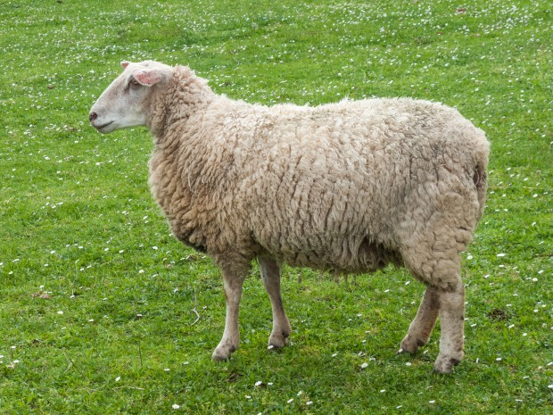 Фермер получи условна присъда за това, че укрил 6 овце