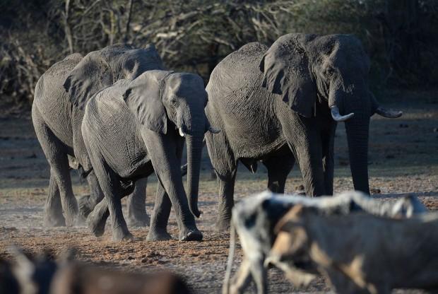 След6-годишна пауза Ботсваназапочва да продава на международния пазар лицензи за