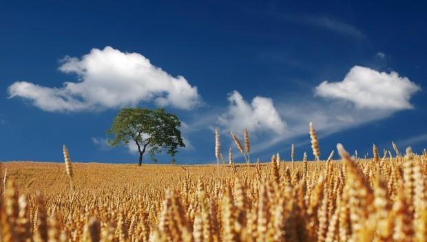 Рекордно ниски добиви от пшеница за последните 10 години отчитат